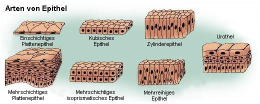 Epithelarten